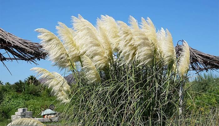 Пампасная трава: посадка и уход, фото, размножение, сорта, выращивание в открытом грунте и сочетание в ландшафтном дизайне