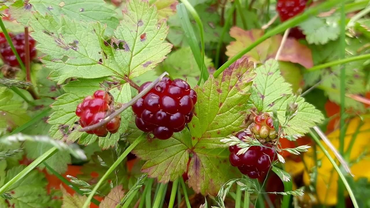 Ягода княженика: описание ягоды, посадка, уход. профилактические меры против болезней и вредителей