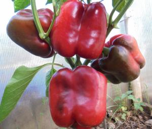Богатый урожай при жаркой погоде — перец д'артаньян: полное описание сорта