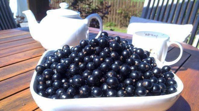 Чем подкормить смородину? чем удобрять осенью черную и красную смородину? особенности весенней и других видов подкормок