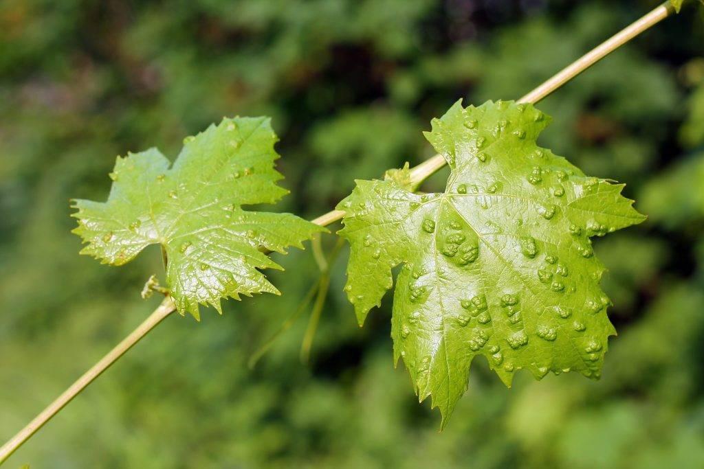 Борьба с клещом на винограде