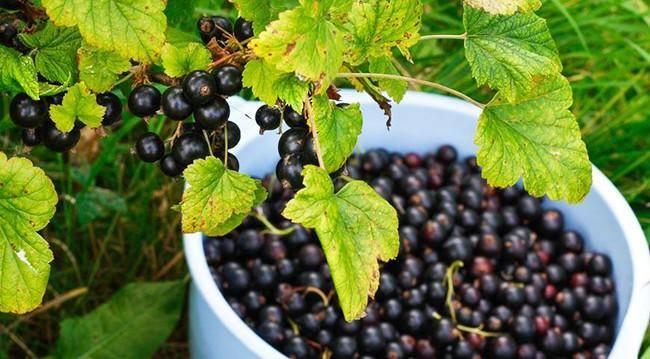 Подкормка смородины весной: чем удобрить для лучшего урожая