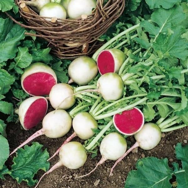 Арбузный редис: что это за культура, как выглядит, фото растения и плодов, отзывы дачников