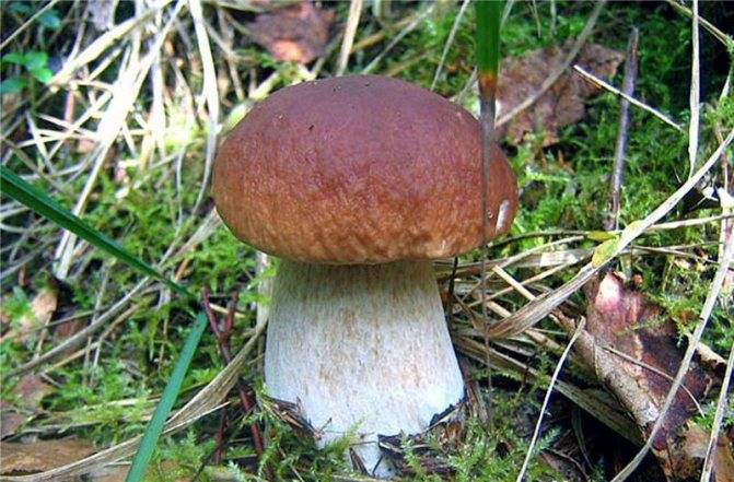 Как чистить белые грибы, как обработать и готовить