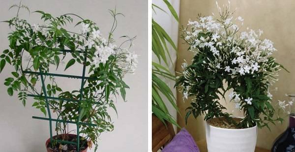 Популярные виды комнатного жасмина: описание и фото цветка, уход в домашних условиях