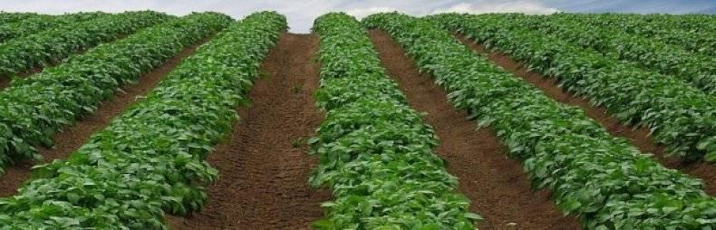 Голландская технология выращивания картофеля на дачном участке