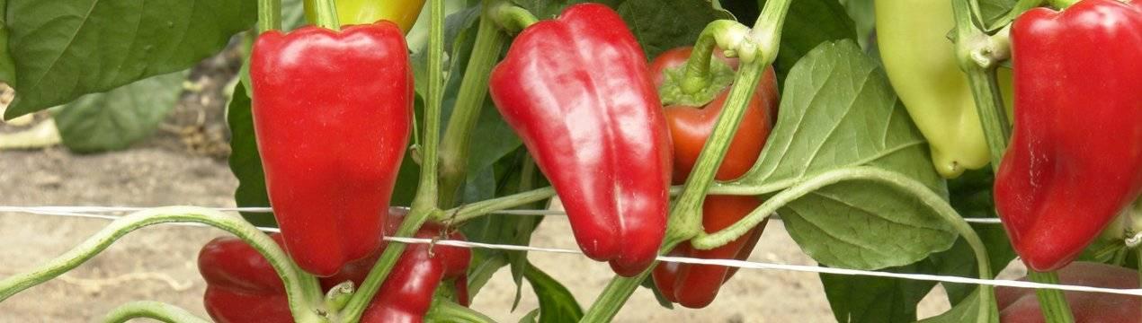 Что класть в лунку при посадке перца, перец айвенго характеристика