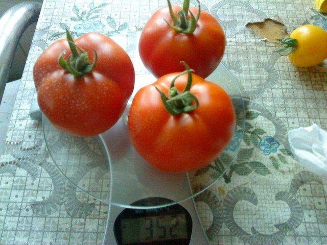 Особенности выращивания крупных ранних помидоров лабрадор