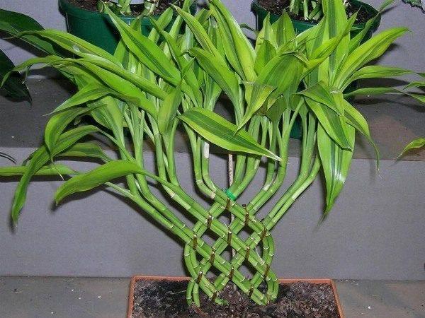 Драцена сандера: уход за растением в домашних условиях, фото