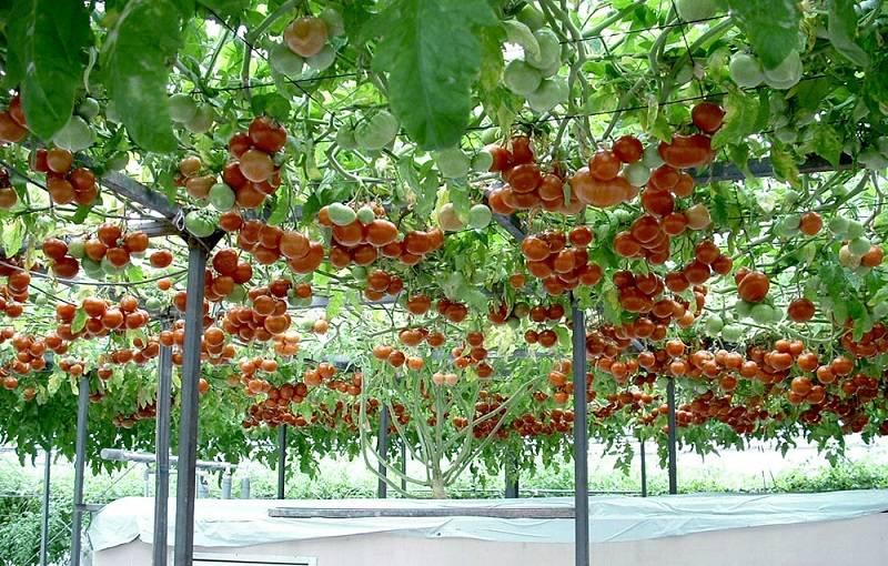 Томатное дерево: выращивание в открытом грунте, секреты агротехники