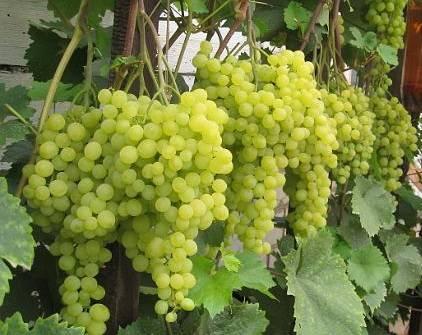 Виноград галия: описание сорта, фото и отзывы садоводов