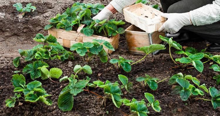 Когда и как рассаживать клубнику, в том числе ремонтантную, весной или осенью, как правильно рассадить и другие особенности
