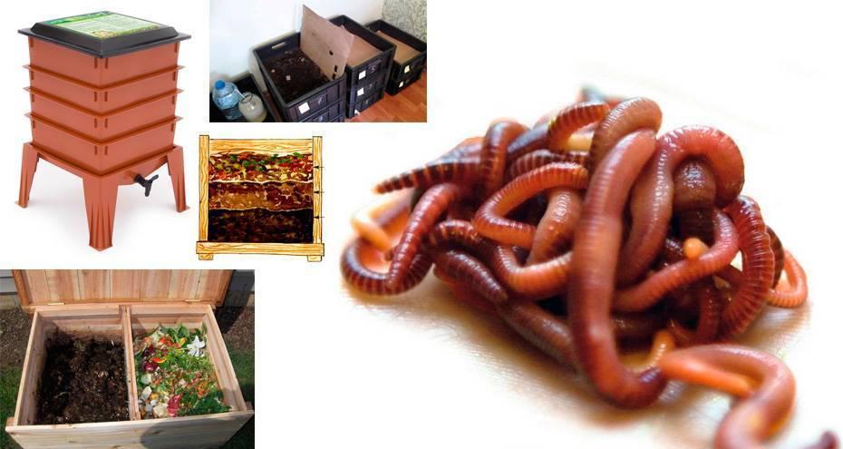 Особенности разведения Калифорнийского червя в домашних условиях