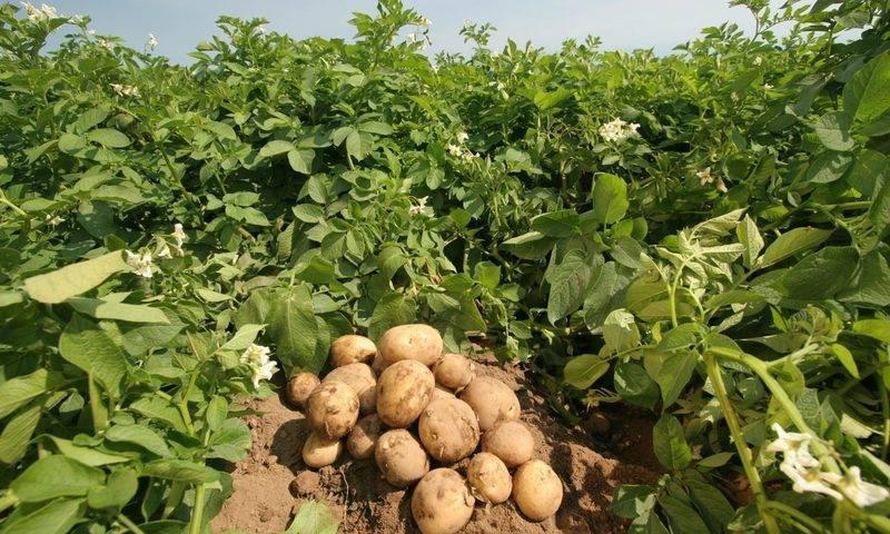 Посадка картошки по-китайски - урожайность потрясает
