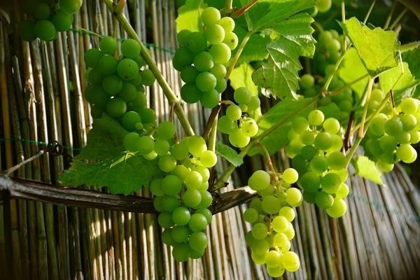Черный виноград: польза и вред для организма, свойства и противопоказания