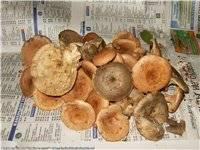 Грибы ставропольского края: фото, съедобные и ядовитые