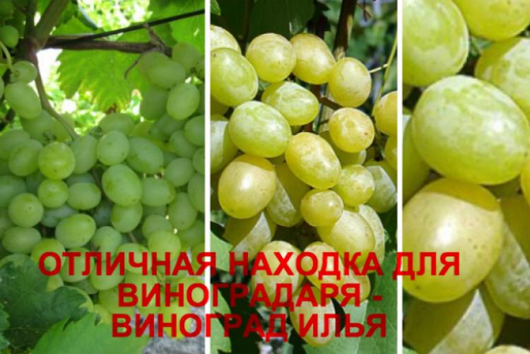 Сорт винограда находка (кишмиш находка)