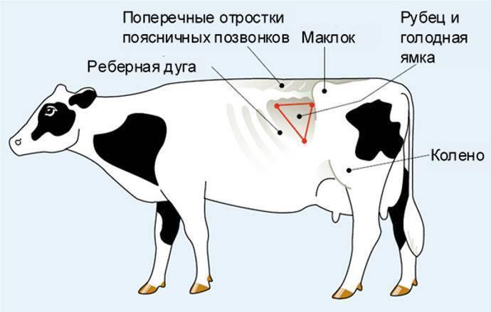 Особенности температуры тела у коровы