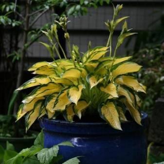 Весенние луковичные, хоста - хоста оранж мармелад 1 шт.