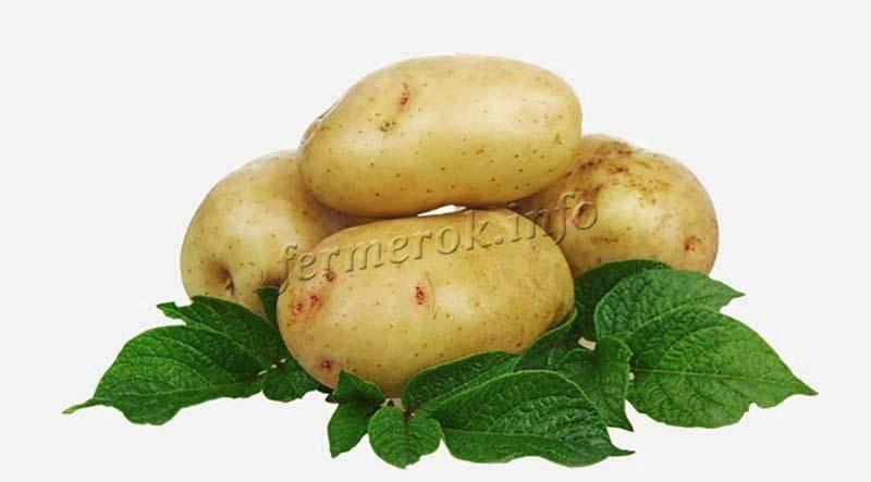 Описание сорта картофеля сказка