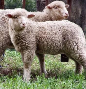 Разведение овец как бизнес для начинающего фермера
