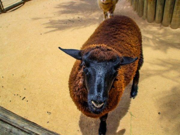 Описание самых популярных мясных пород овец, их отличительные особенности и правила разведения