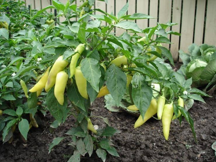 Нужно ли окучивать перцы в теплице и открытом грунте