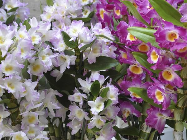 Необыкновенная орхидея дендробиум нобиле: описание, уход и размножение в домашних условиях