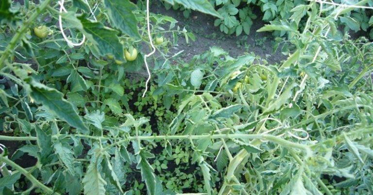 Как быть, если листья помидоров закручиваются внутрь, вниз и вверх и меняют цвет? почему это происходит?