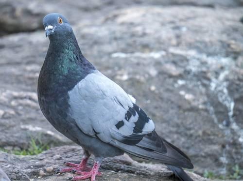 Сизый голубь: описание, кормление и размножение сизокрылых