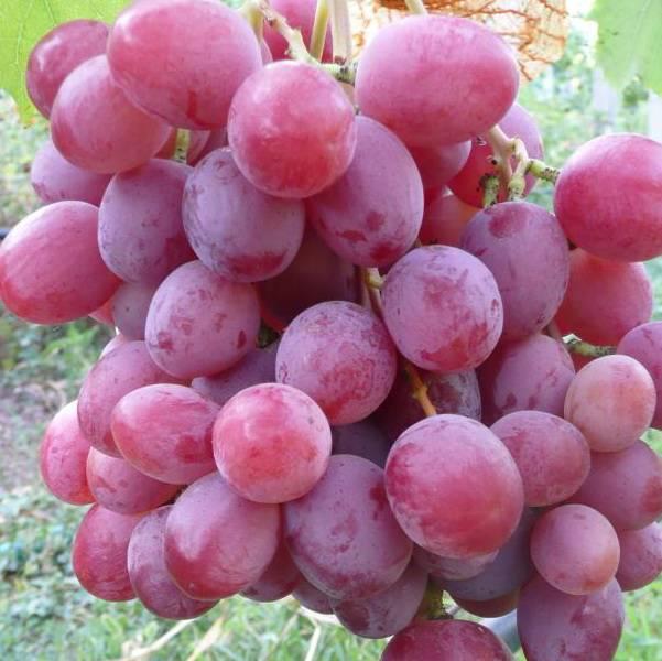 Классификация винных сортов винограда