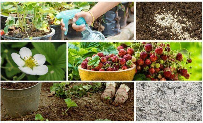 Чем и как подкормить клубнику весной?