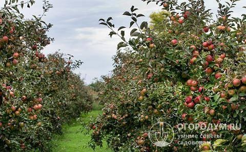 Описание сорта яблони айдаред: фото яблок, важные характеристики, урожайность с дерева