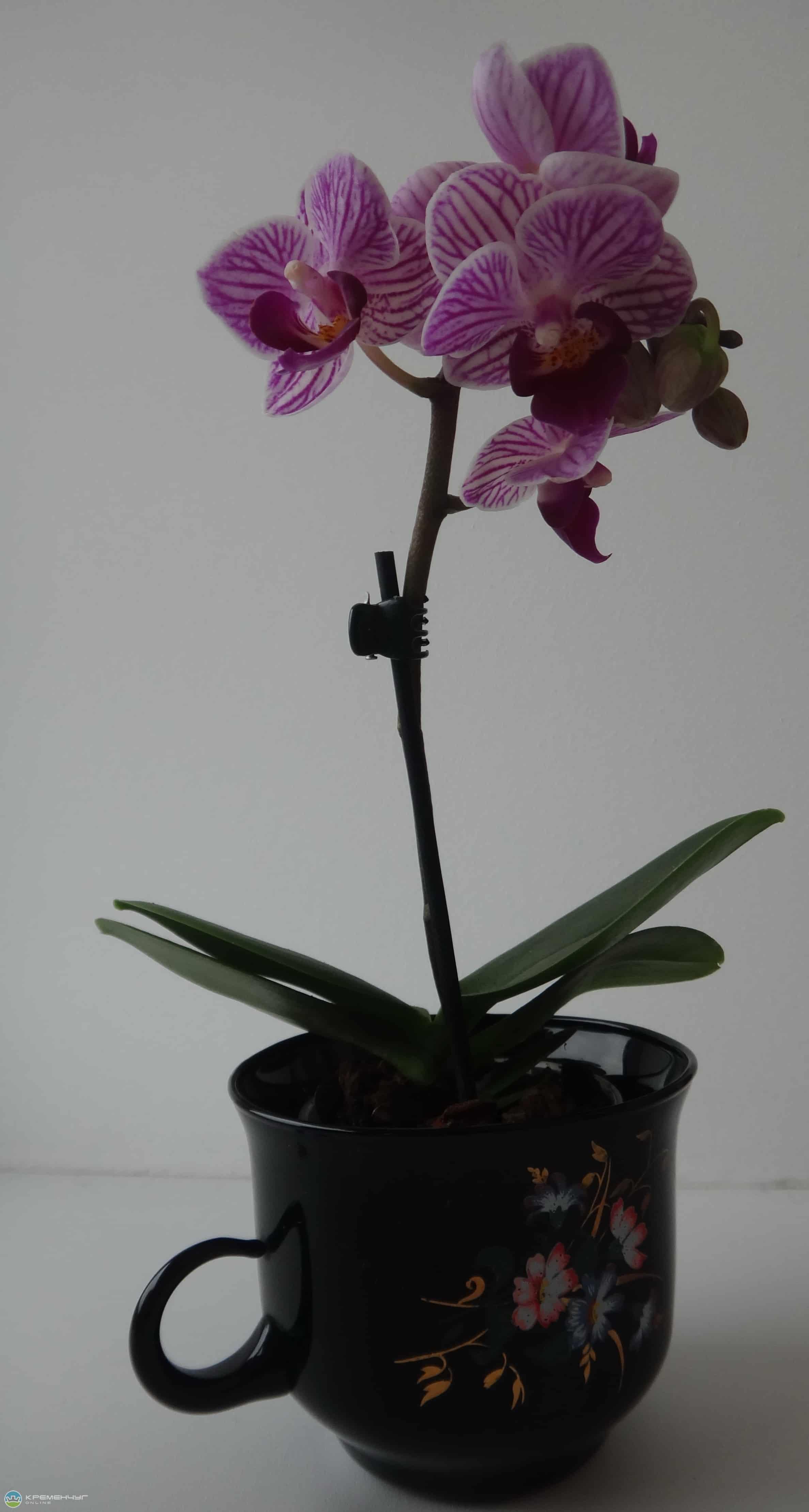Орхидея засыхает - как спасти и реанимировать растение: видео-инструкция
