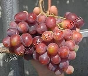 Виноград эверест описание сорта фото отзывы видео