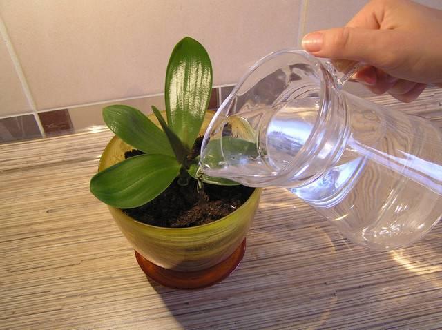 Нужно ли поливать орхидею после пересадки, а также сразу перед процедурой?