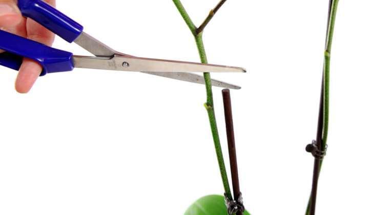 Что такое стрелка, зачем она нужна орхидеи и как ухаживать за цветком?