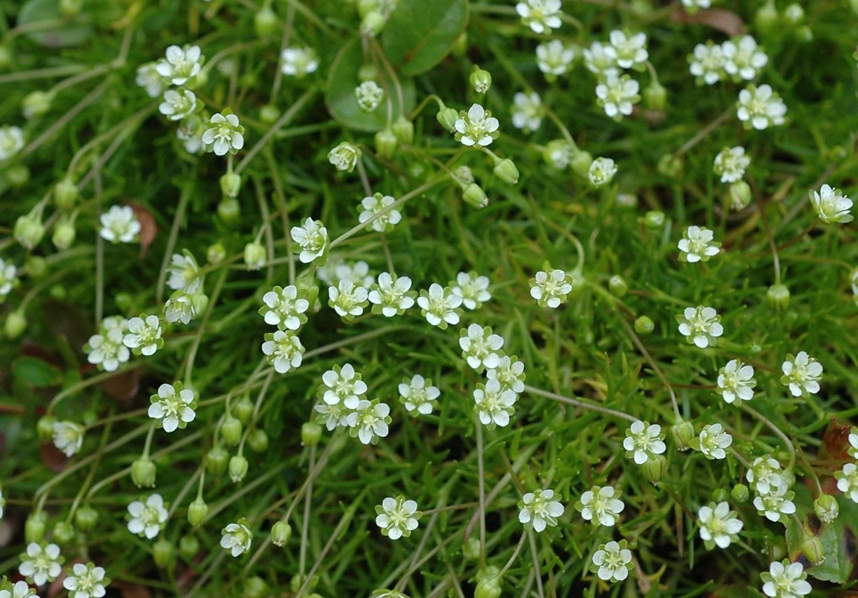 Мшанка шиловидная – имитация газонной травы