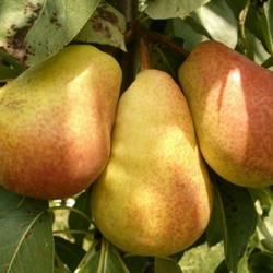 Груша свердловчанка: отзывы, топ секреты выращивания, описание