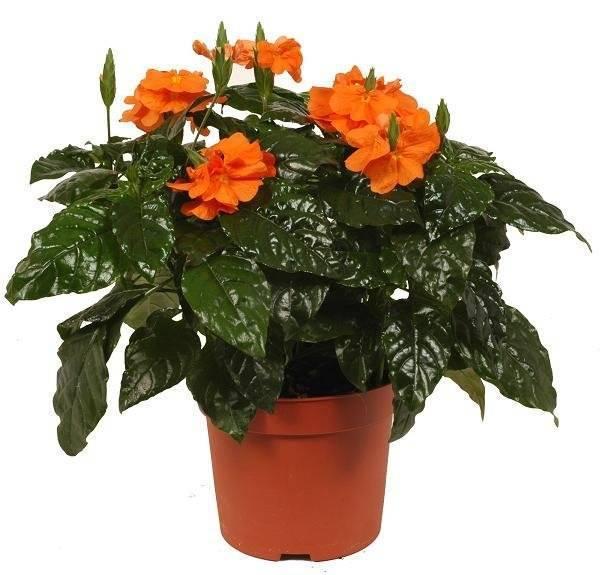 Кроссандра: об уходе и выращивании растения в домашних условиях