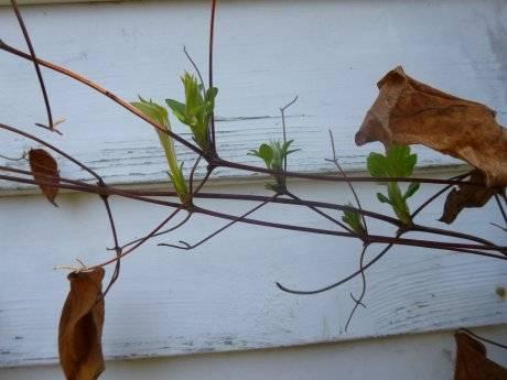 Обрезка клематисов весной и осенью