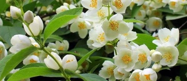 Как размножить садовый жасмин – чубушник?