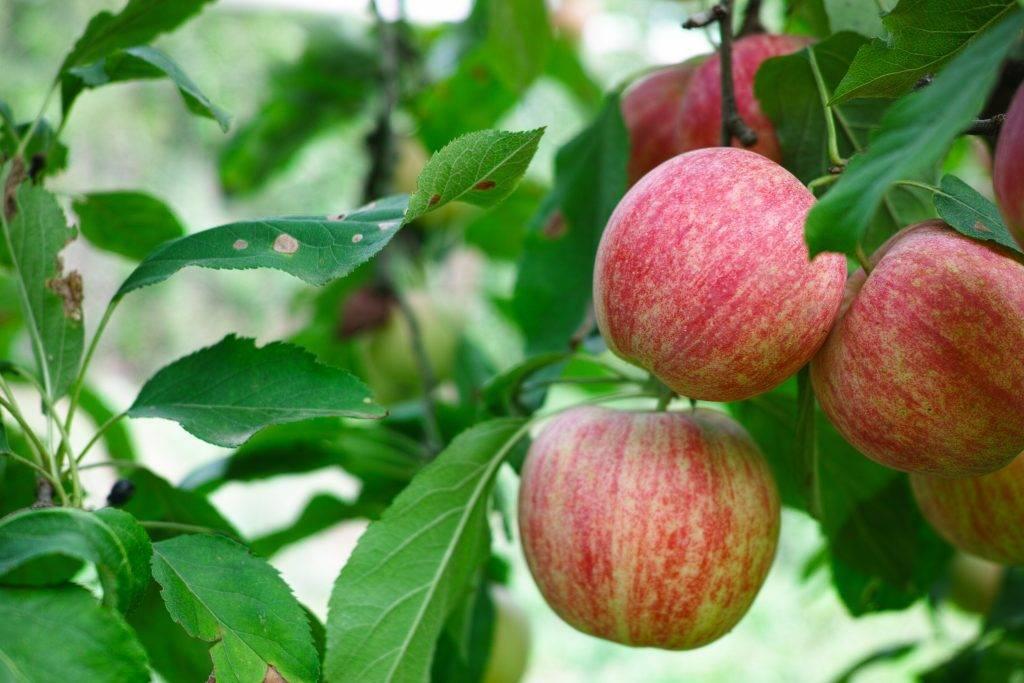 Яблоня слава победителю — описание сорта, фото, отзывы