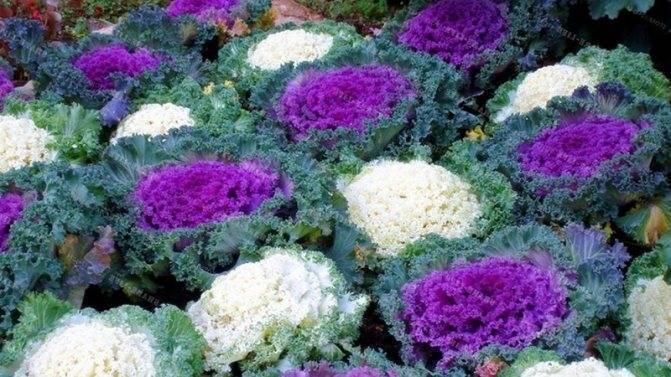 Декоративная капуста выращивание из семян в домашних условиях посадка и уход фото сортов