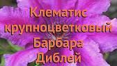 Клематис барбара диблей: описание