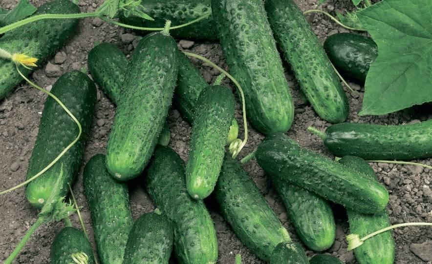 Как посадить и вырастить огурцы «миранда»
