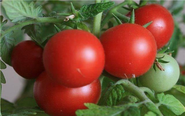 Томат снегирь: описание и характеристика сорта, отзывы, фото, урожайность   tomatland.ru