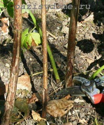 Посадка малины весной для начинающих — инструкции с фото и видео
