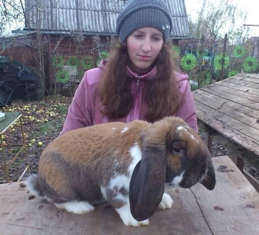 Кролики породы баран - разновидности и особенности содержания