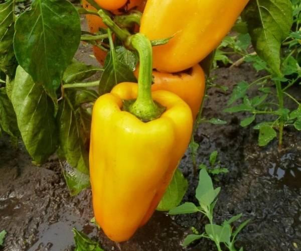 """Перец """"айвенго"""": характеристики и описание сорта, урожайность, отзывы, фото"""